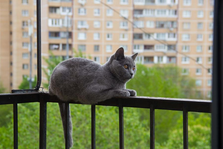 Gray cat sitting on the balcony against a tree. Photo purchased from BigStock.com.